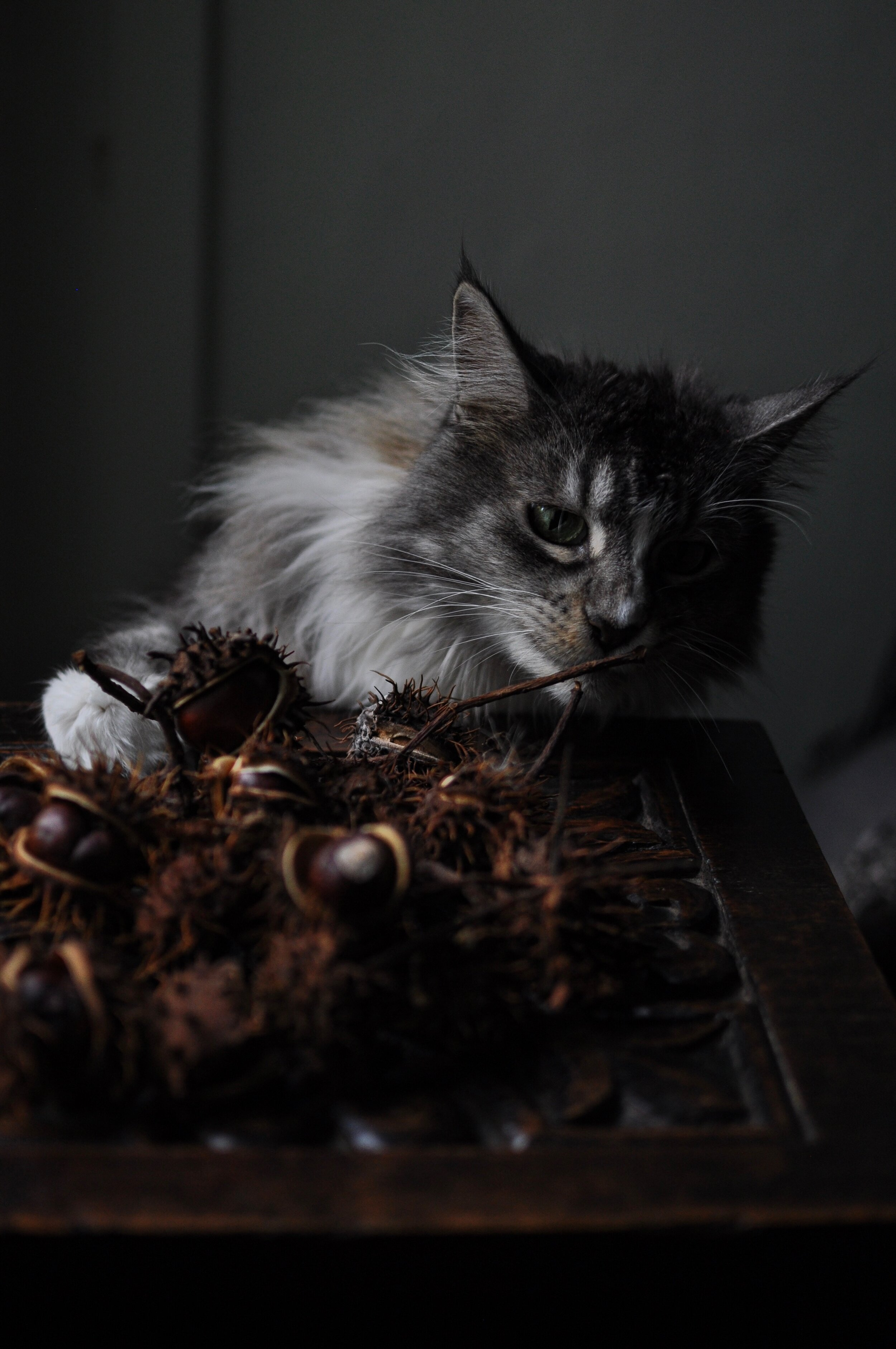 chestnuts & freya the maine coon