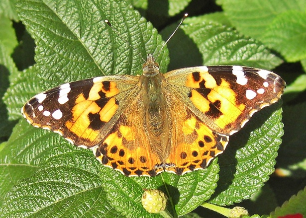 A painted lady butterfly pictured above