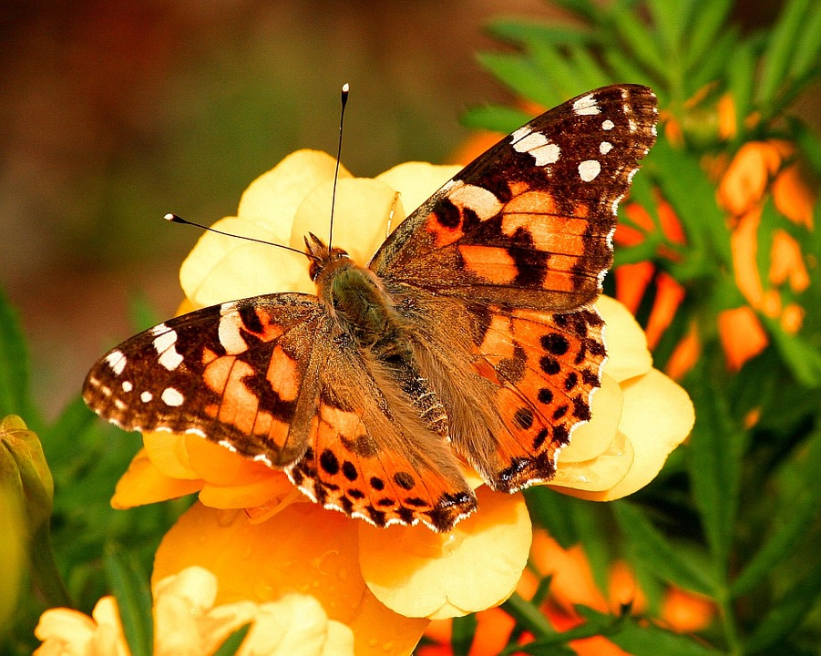 Pictured above a paint lady butterfly