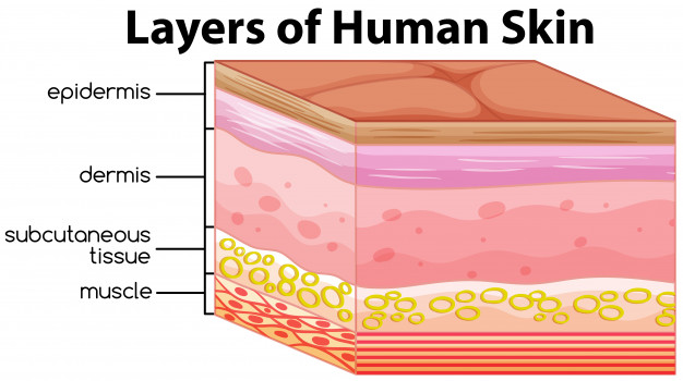 layers human skin concept 1308 16415
