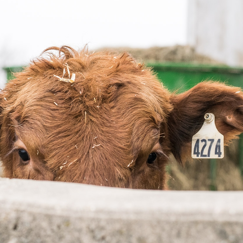 HOW TO BUY OUR BEEF - We want to make the process of buying our beef as easy as possible for our customers. Click below to read about how to order.