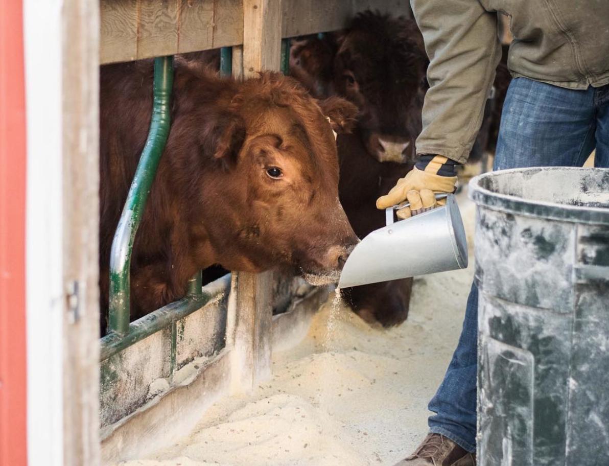 gavin-farms-cattle-feed