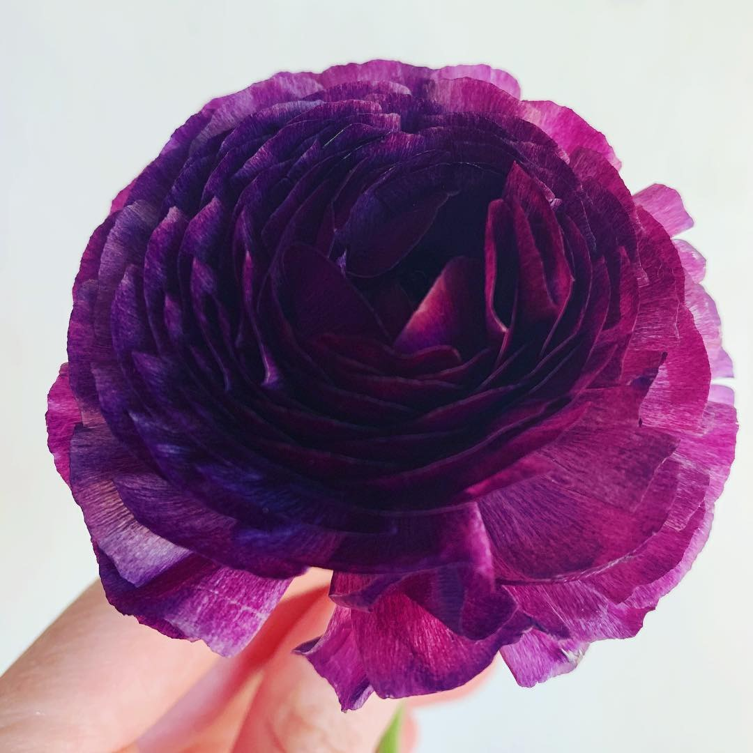 ranuculus purple bouquet.jpg