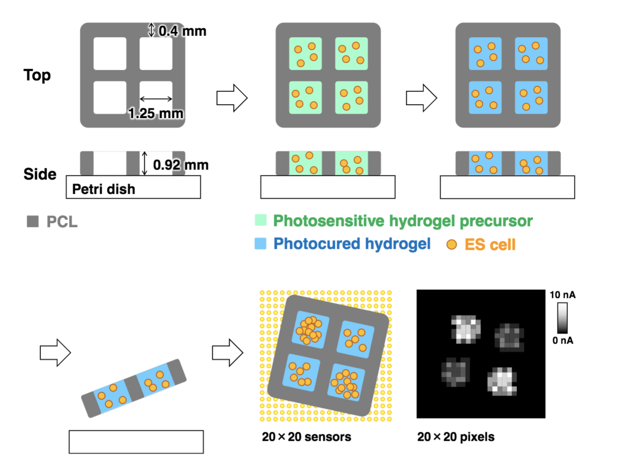 tohoku university allevi bioprinter bioprinted hydrogel imaging