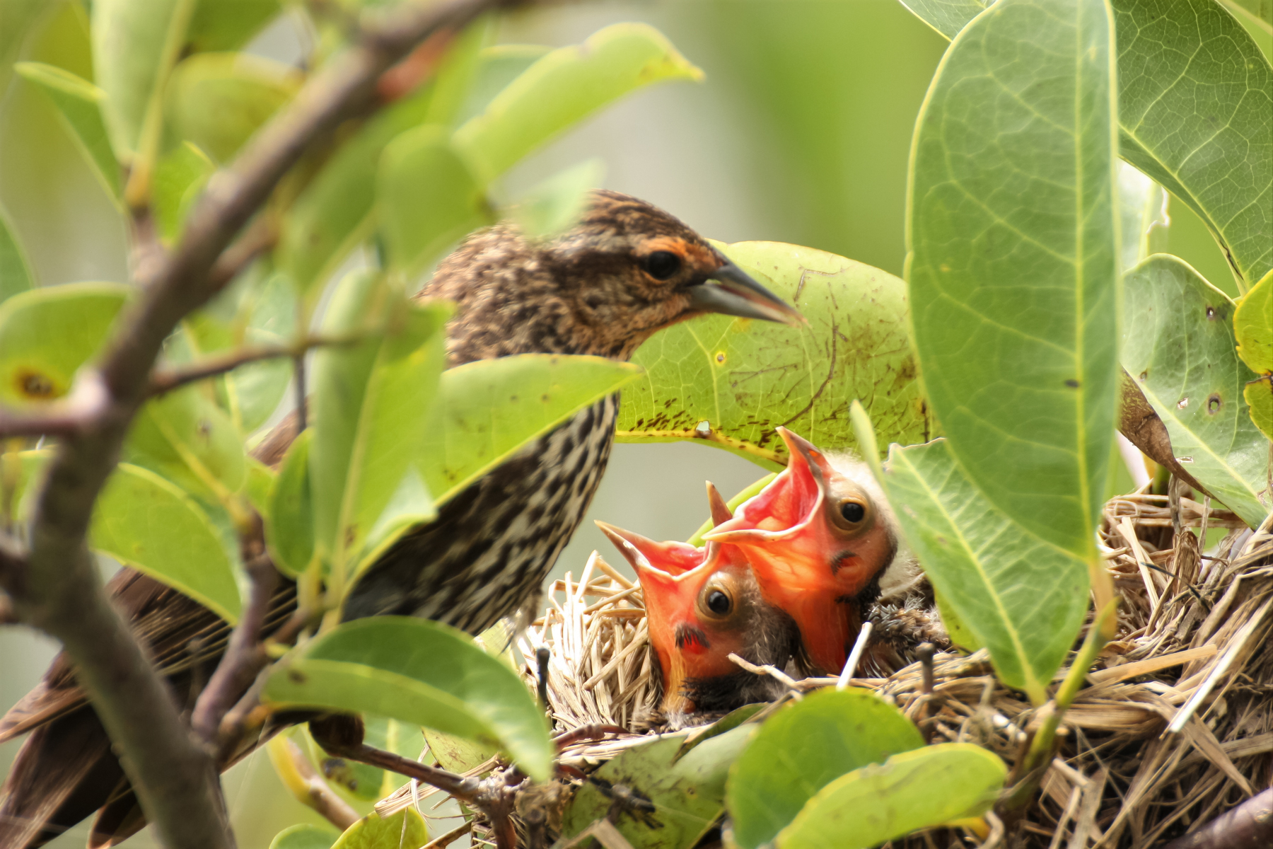 Female Red-wing Blackbird and Chicks.jpg
