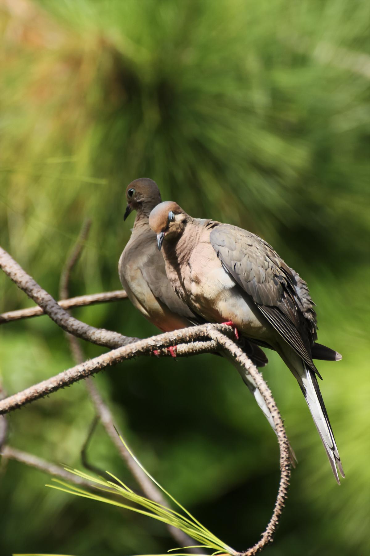 Mourning Doves.jpg