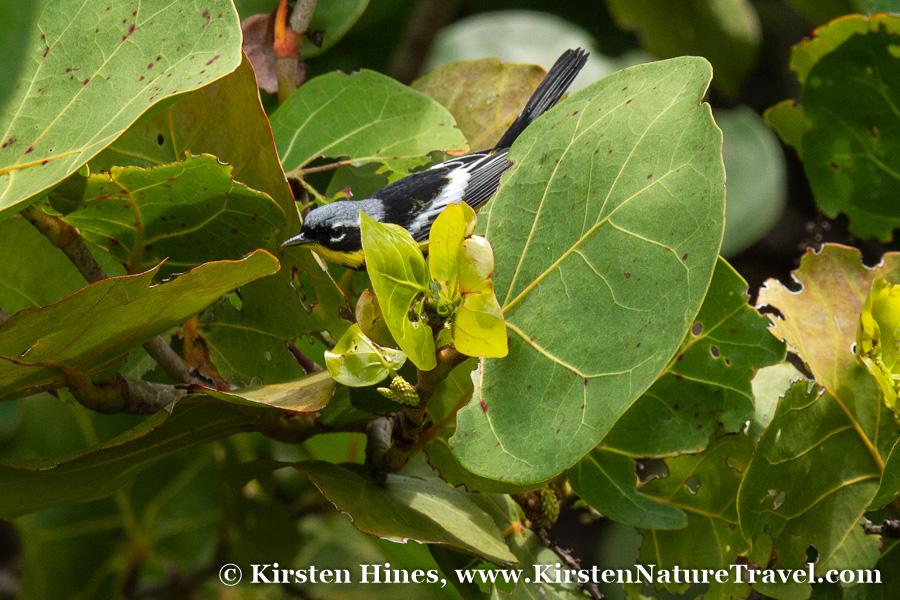 KirstenHines_magnoliawarbler-1.jpg