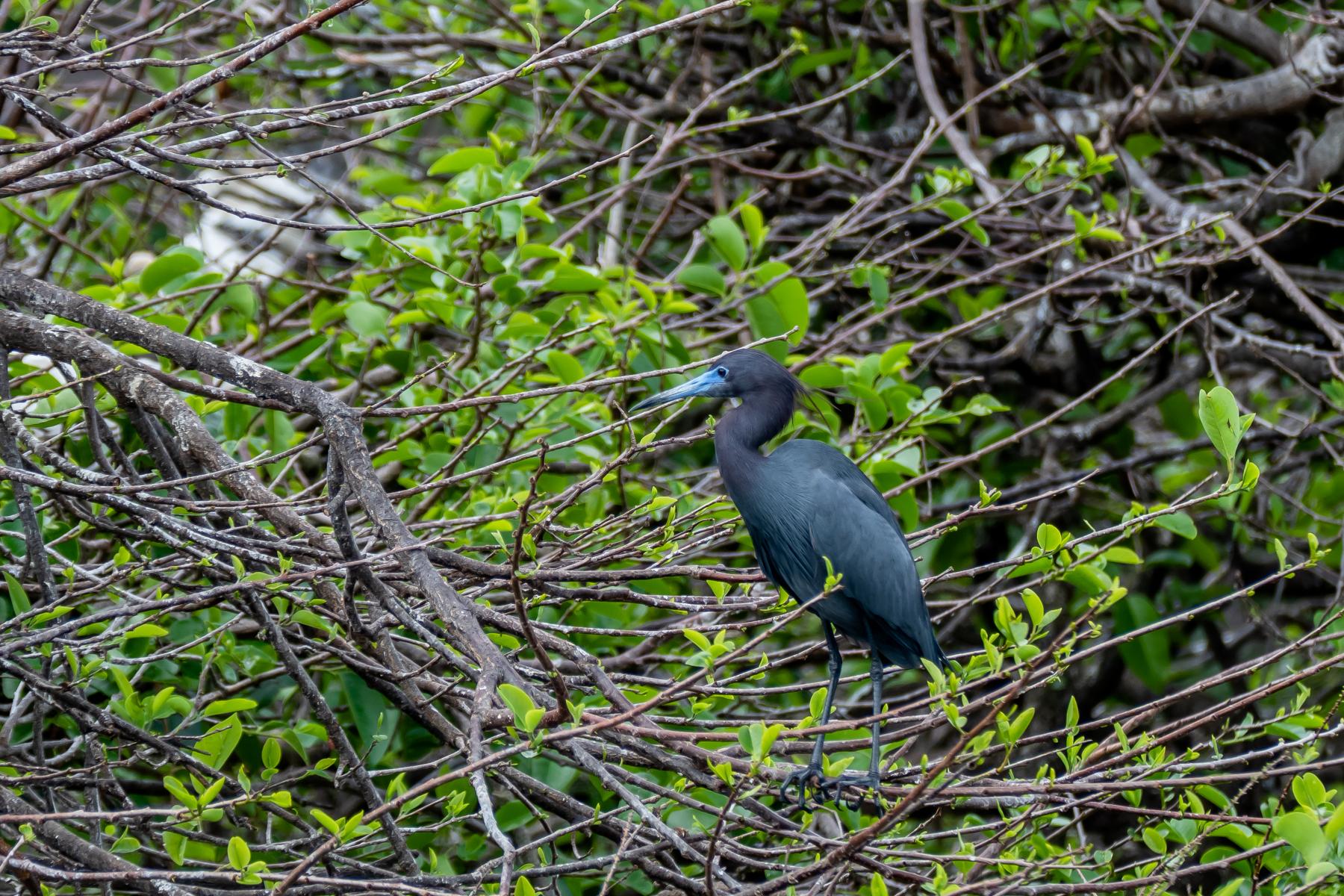 Little Blue Heron in breeding plumage.