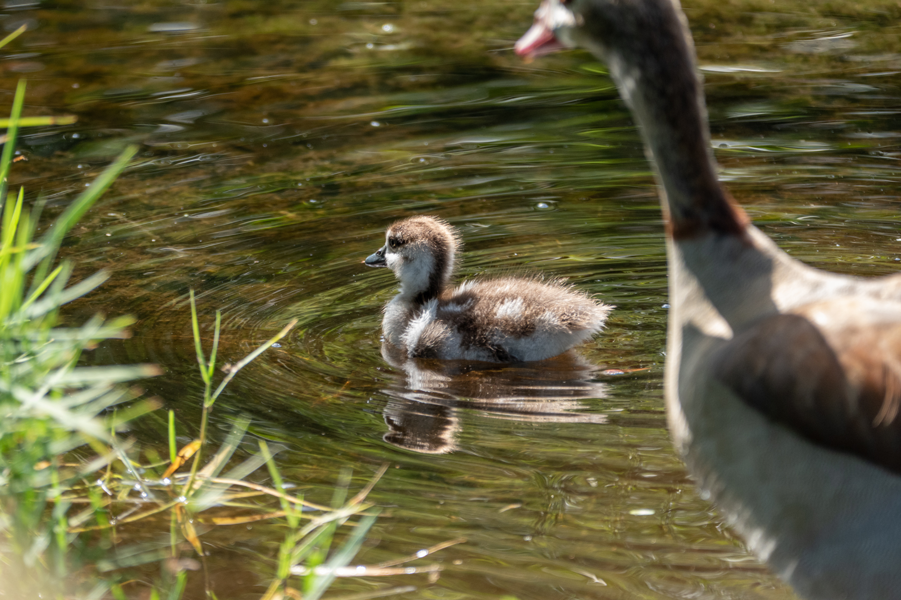 An Egyptian Goose chick.