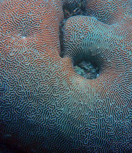 Brain coral
