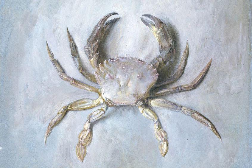'Study of a Velvet Crab - John Ruskin (1870)