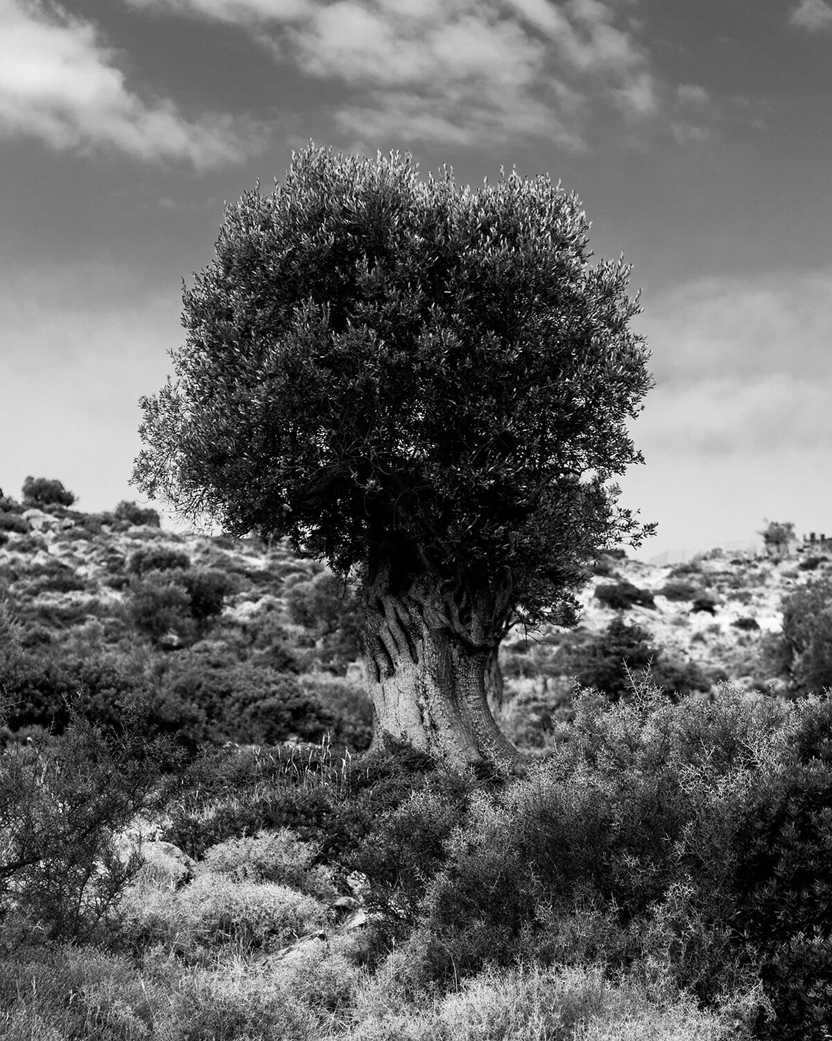 Jerome Clark,  Olive Tree,  2019, inkjet on archival paper, 8 x 10 inches, 13 x 16 inches framed