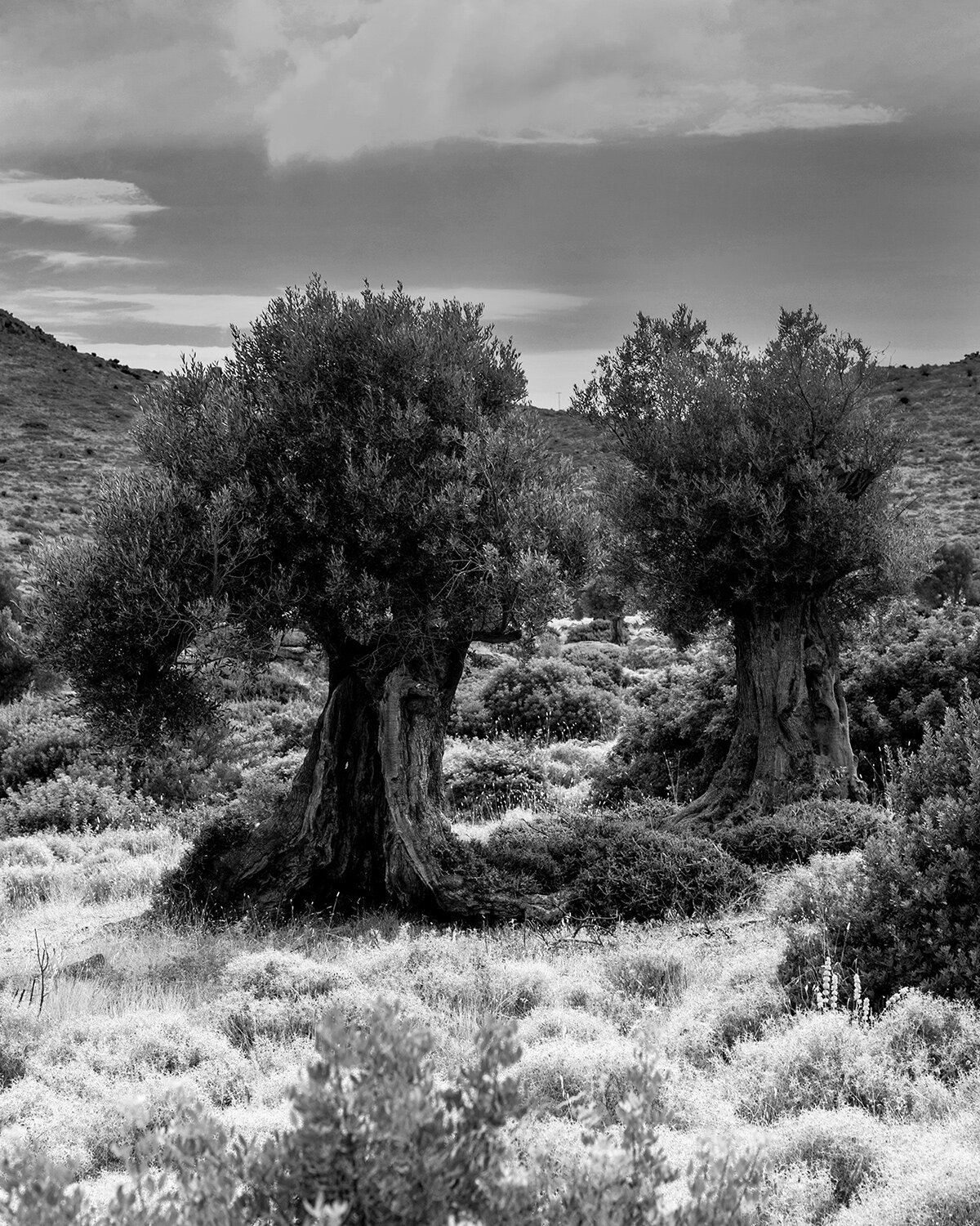 Jerome Clark,  Two Olive Trees,  2019, inkjet on archival paper, 8 x 10 inches, 13 x 16 inches framed