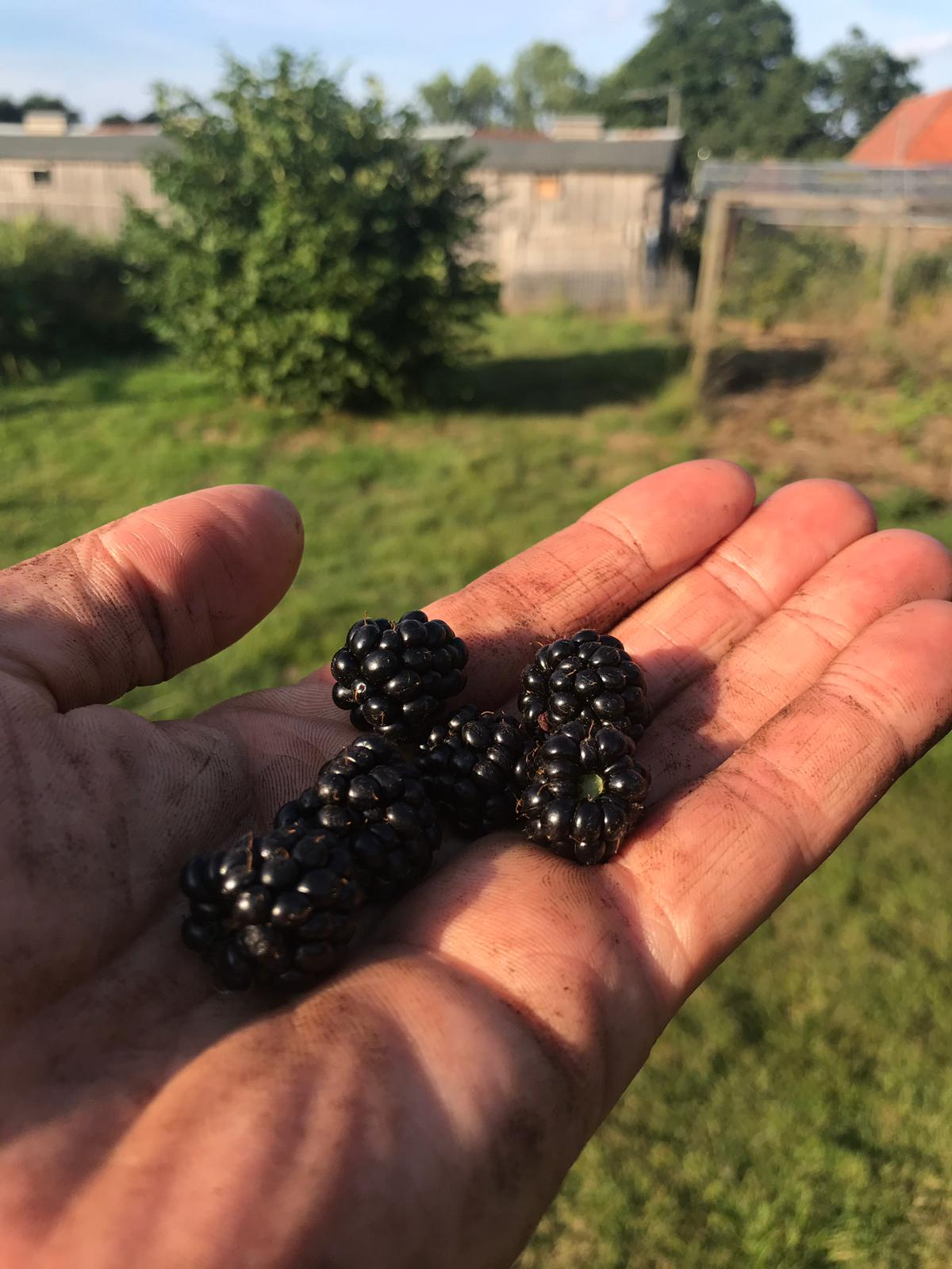Blackberries from farm hedgerows