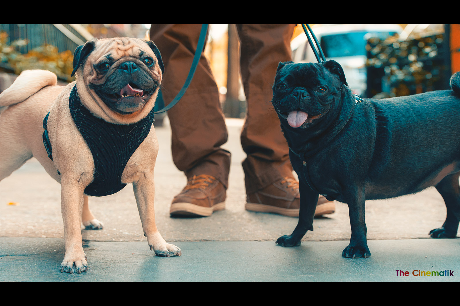 Two little French Bulldog friends smiling at the camera in New York cinematic photograph by Kamal Lahmadi/THE CINEMATIK