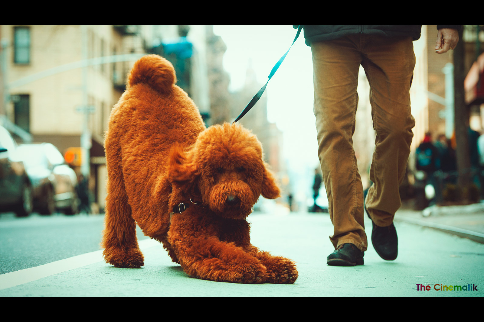 Gorgeous furry Labradoodle funny pose in New York cinematic photograph by Kamal Lahmadi/THE CINEMATIK