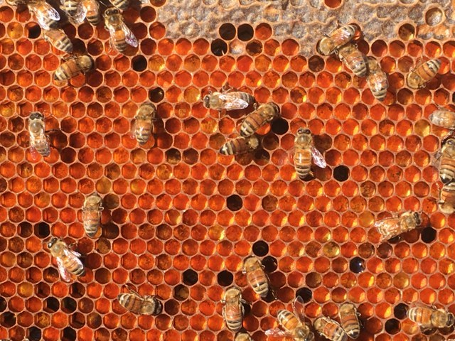 explore our hives - pollen frame 2.JPG
