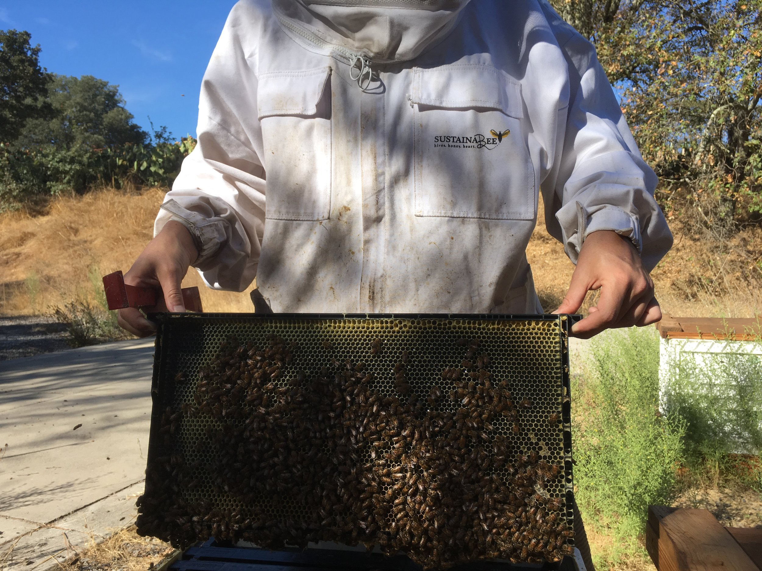explore our hives -frame of bees.JPG