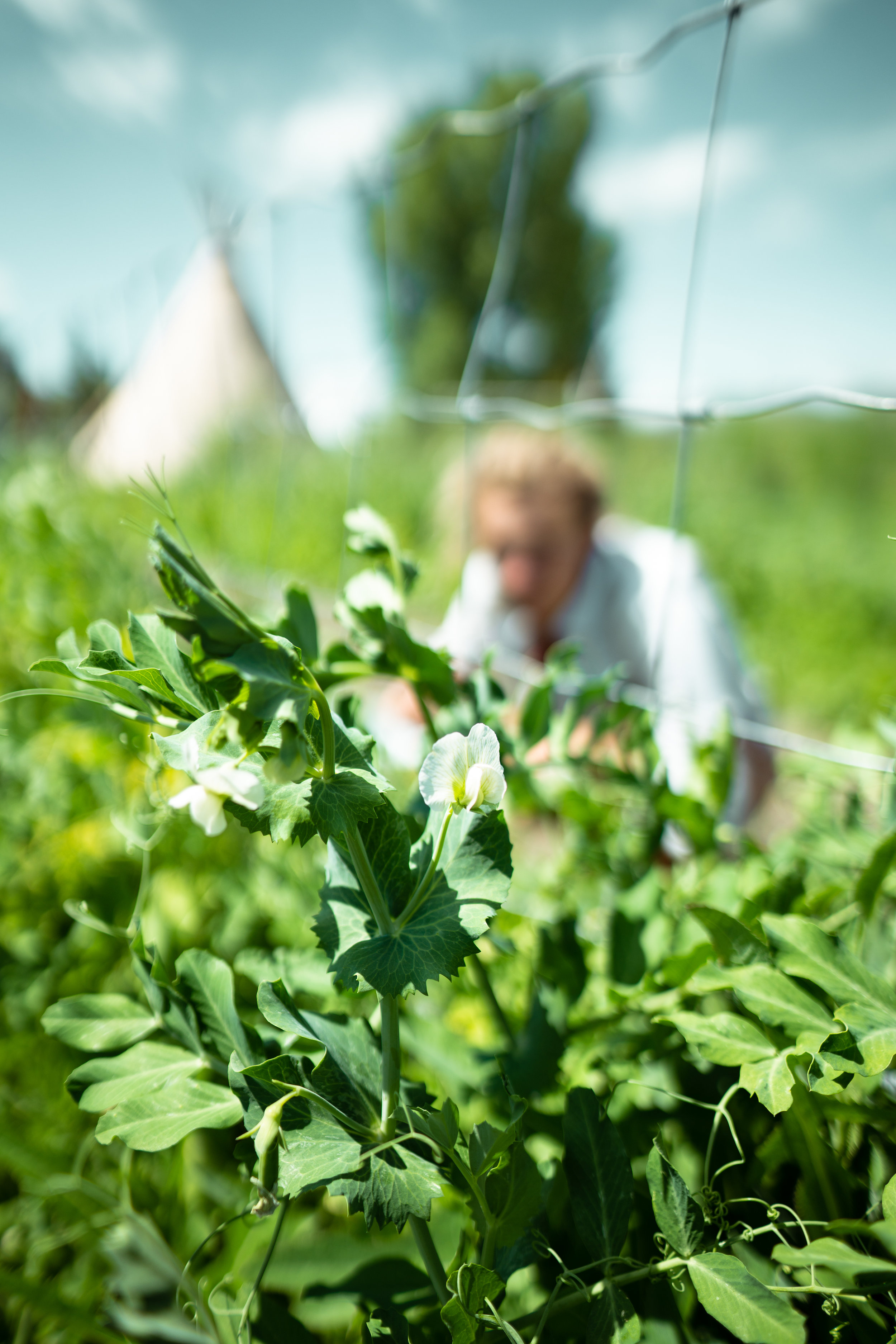 Picking peas at Sprig & Root Farm in Clarkston, Montana.