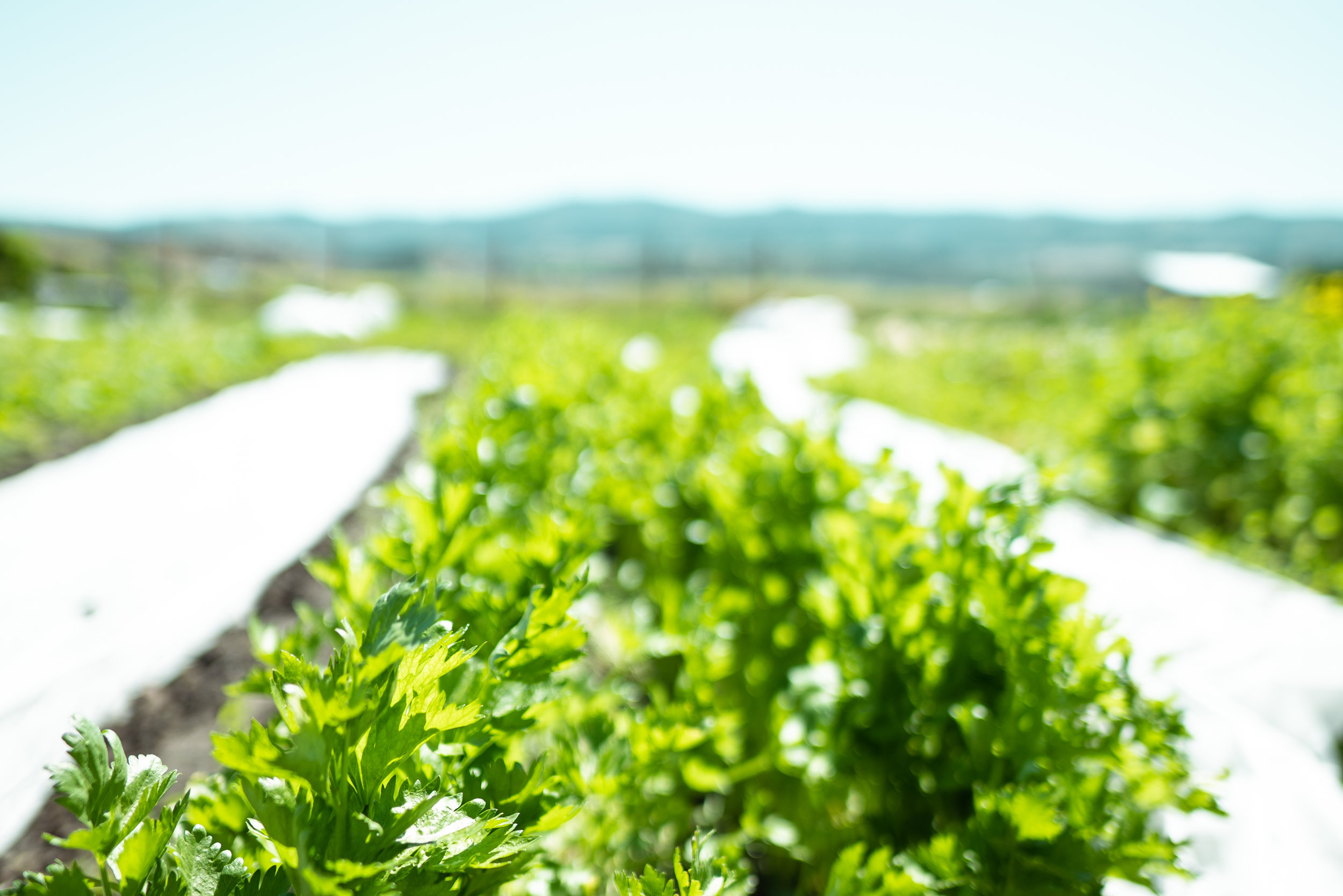 Celery at Sprig & Root Farm in Clarkston, Montana.