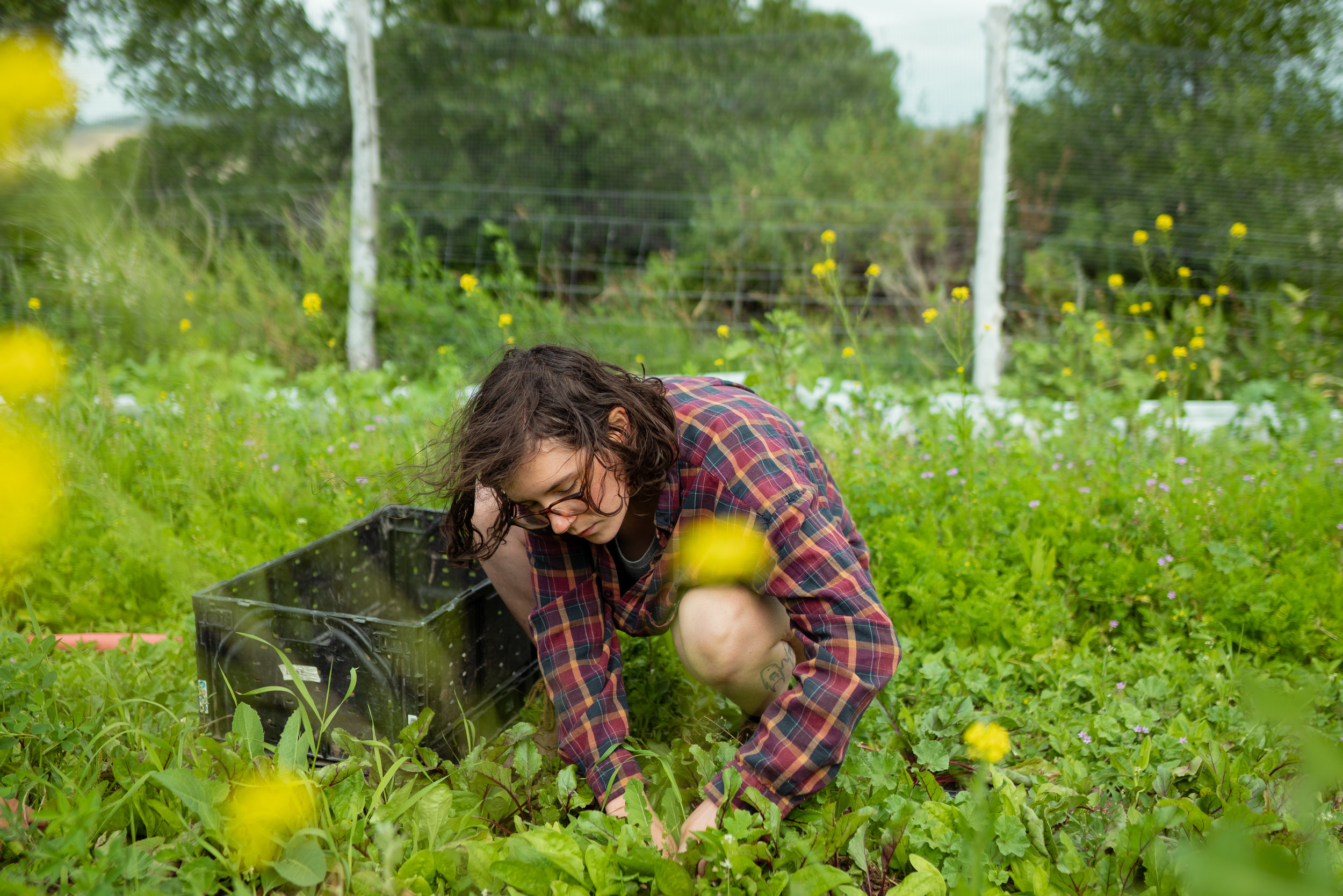 Picking beets at Sprig & Root Farm in Clarkston, Montana.