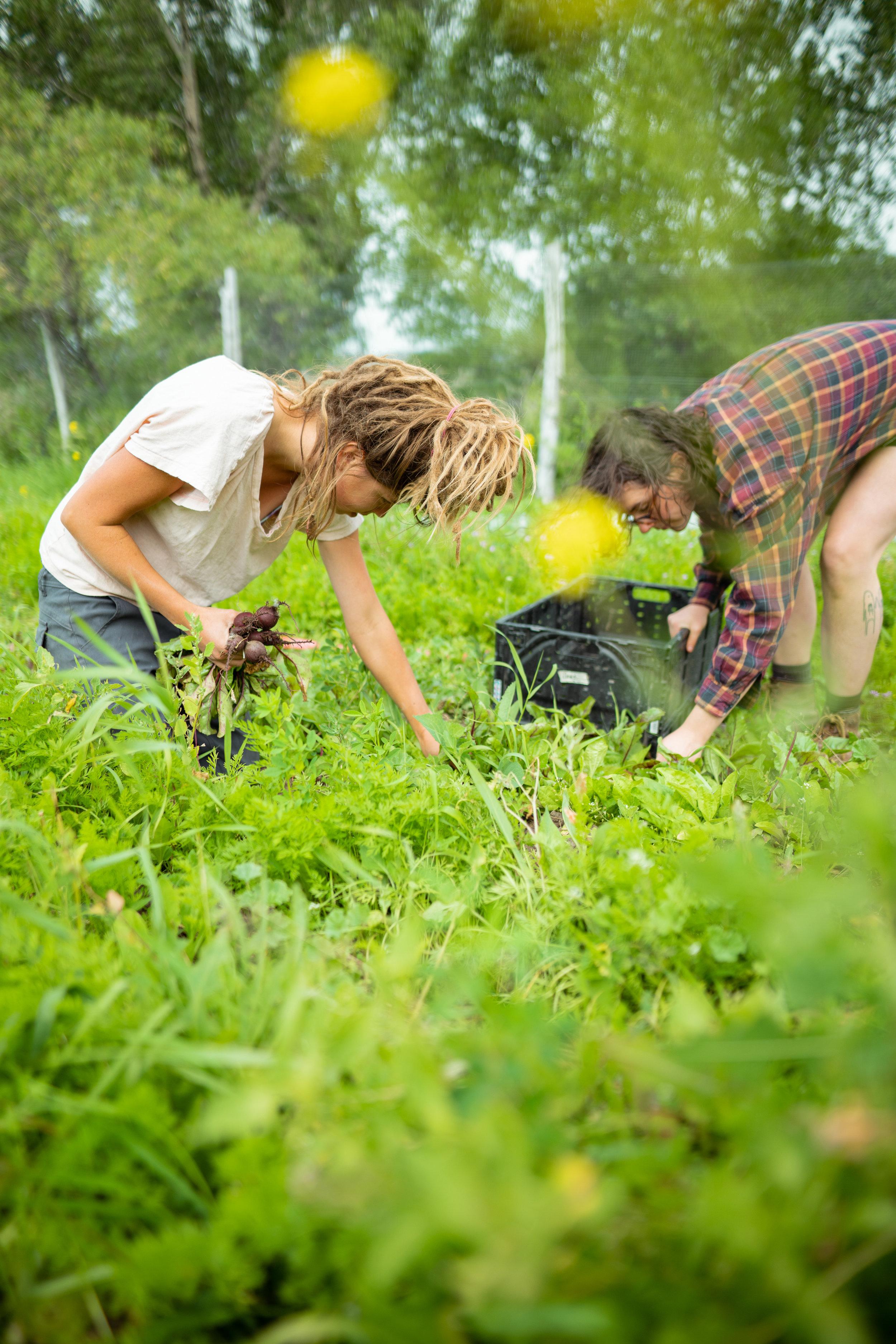 Kacy Senger picking beets at Sprig & Root Farm in Clarkston, Montana.
