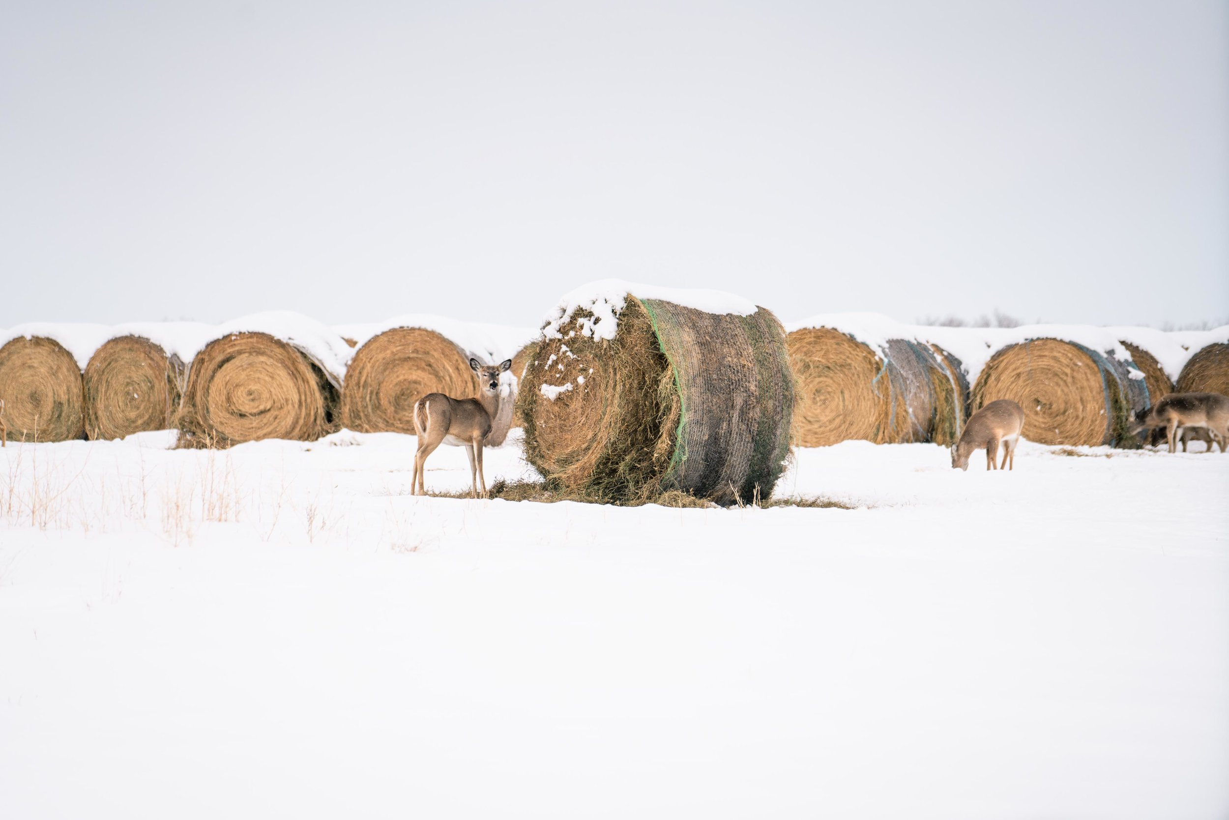 Deer eating hay bales during winter.