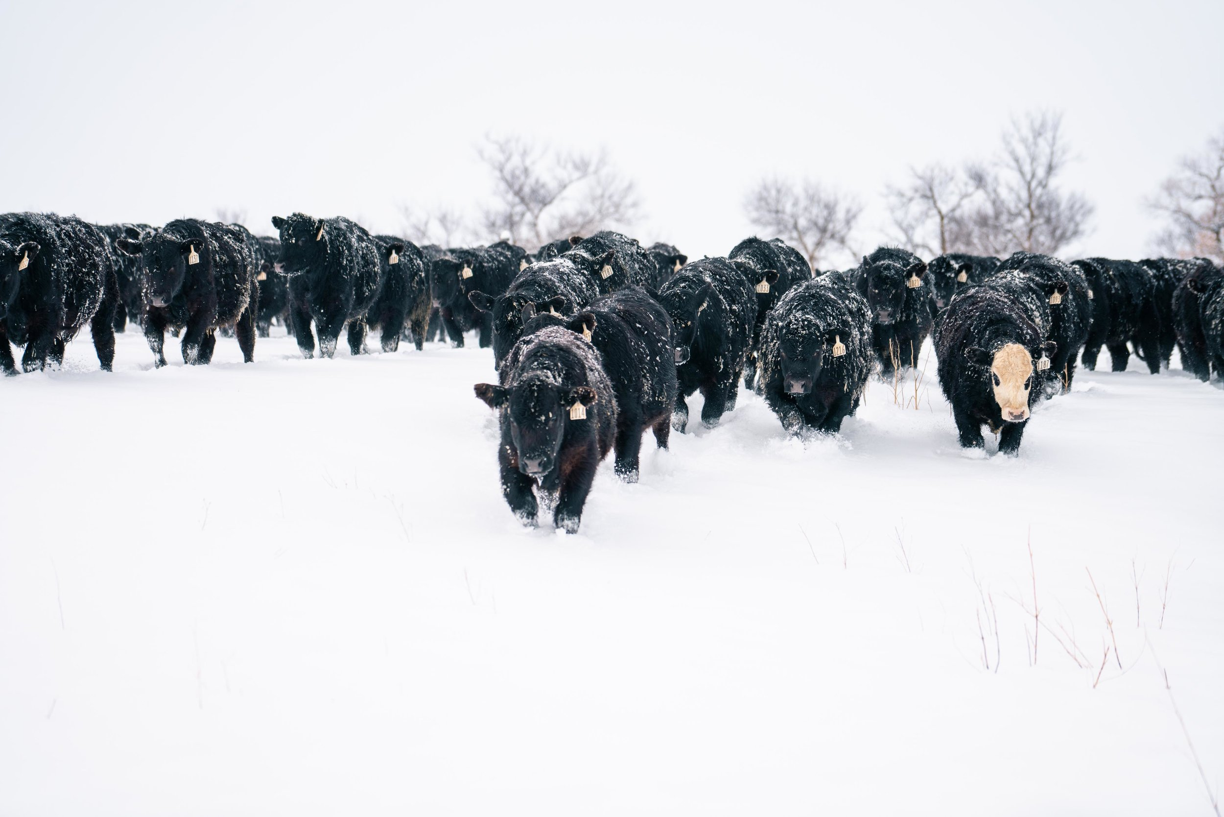 Cows coming to feed during winter in eastern Montana.