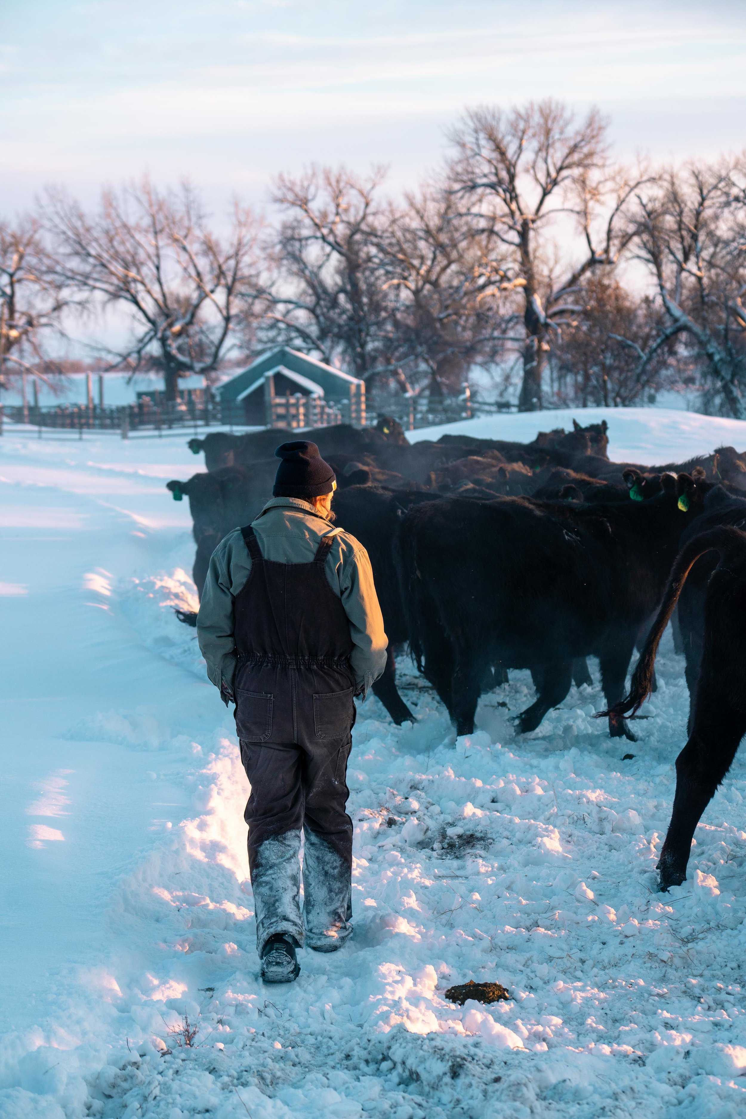 Jenna Flatgard walking through the cows during sunset in eastern Montana.