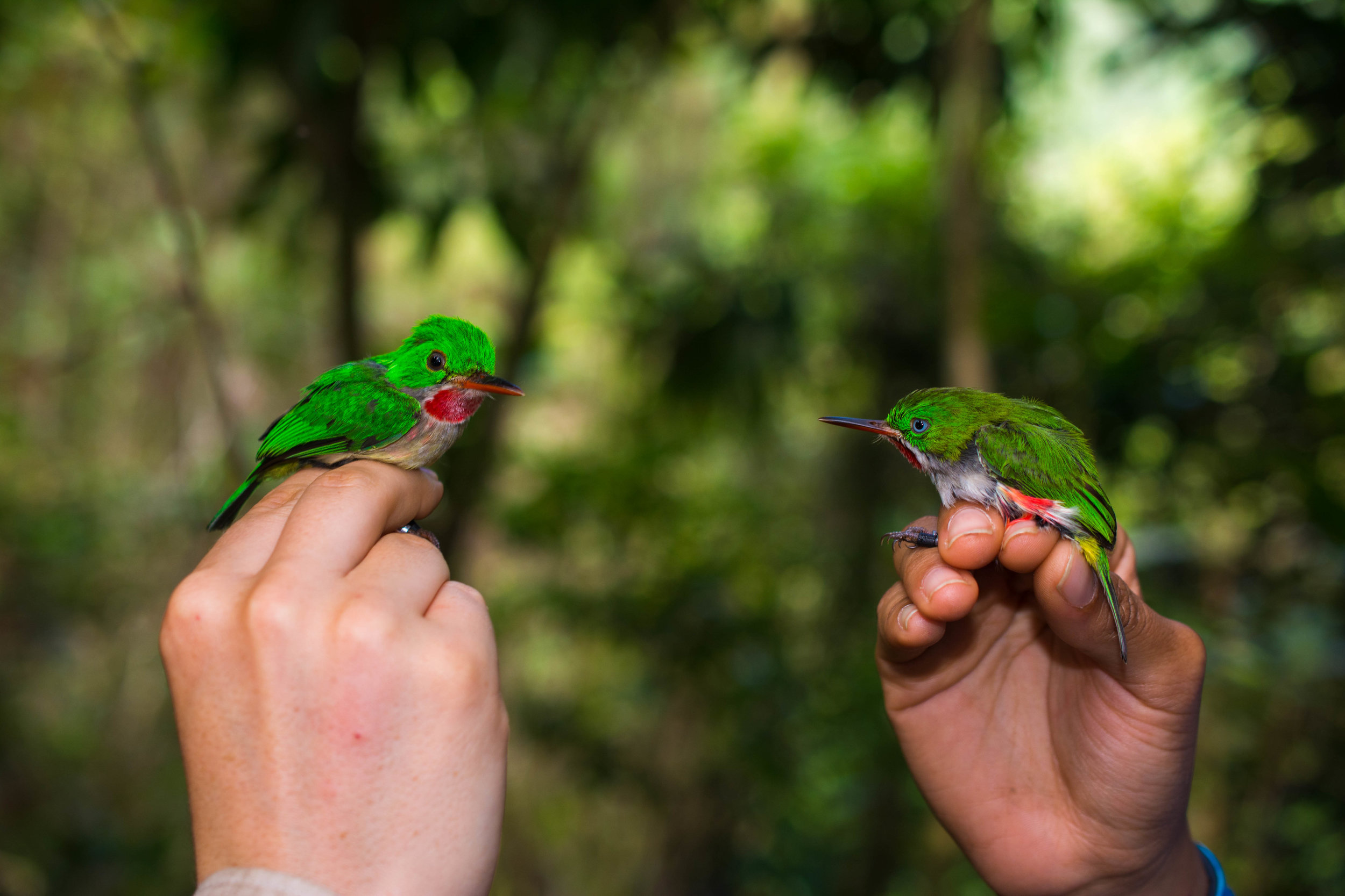 Broad-billed Tody (left) and Narrow-billed Tody (right) occur sympatrically in several regions of the Cordillera Central
