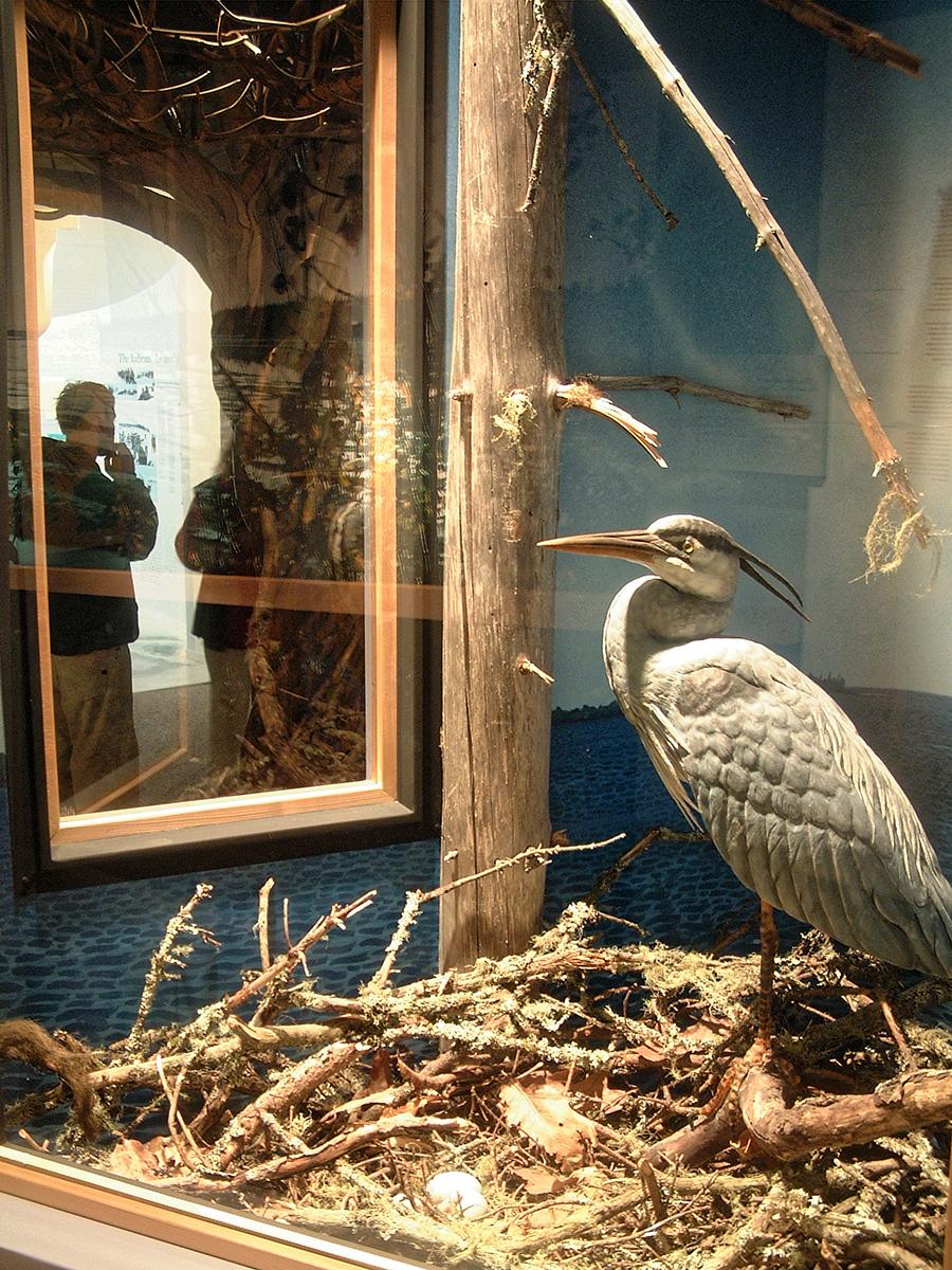 Great Blue Heron Diorama