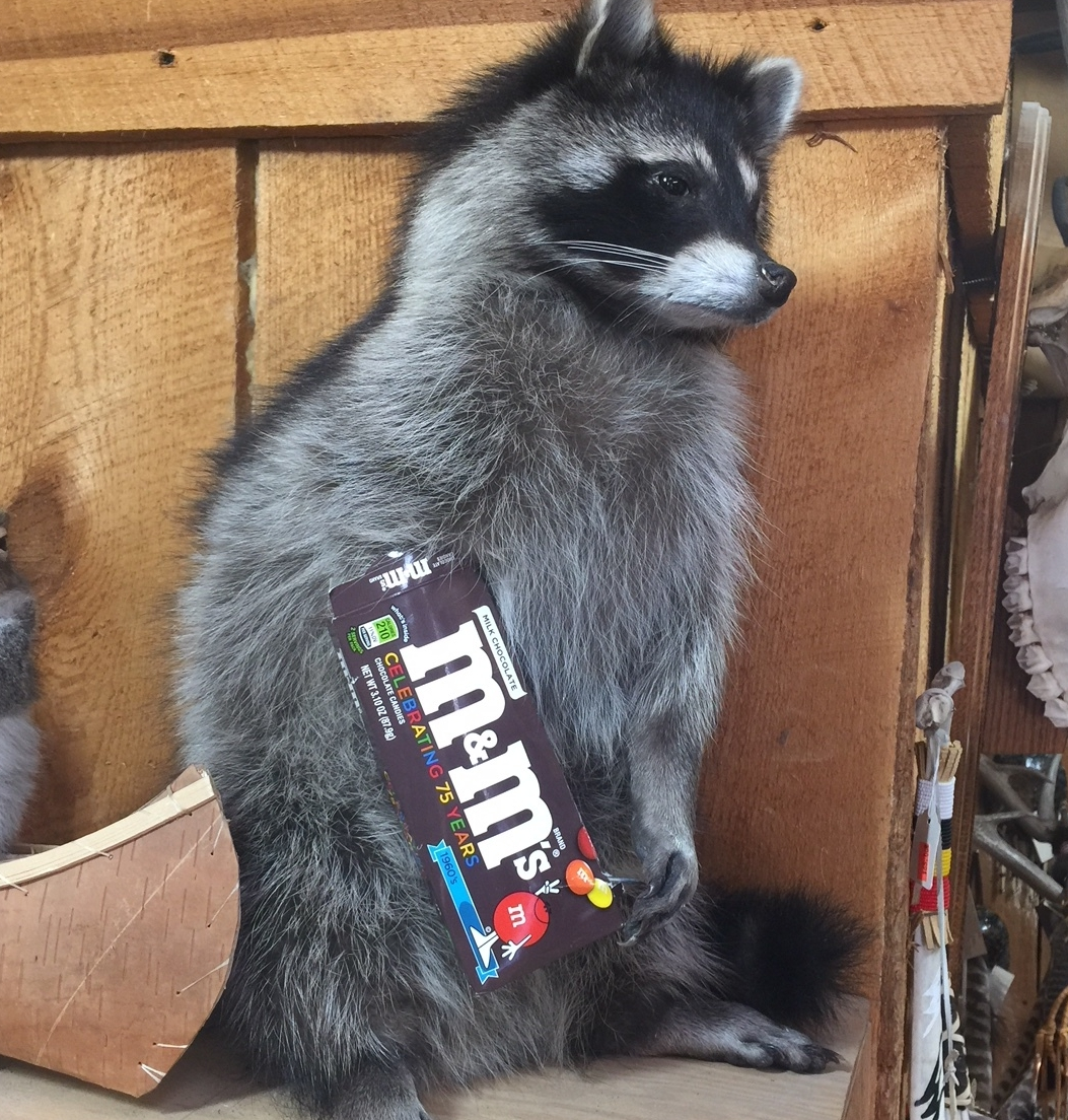 Raccoon taxidermy available with or without M&M candy box