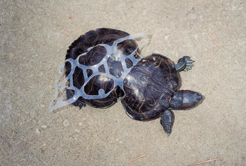 turtle grown into plastic 6-pack rings