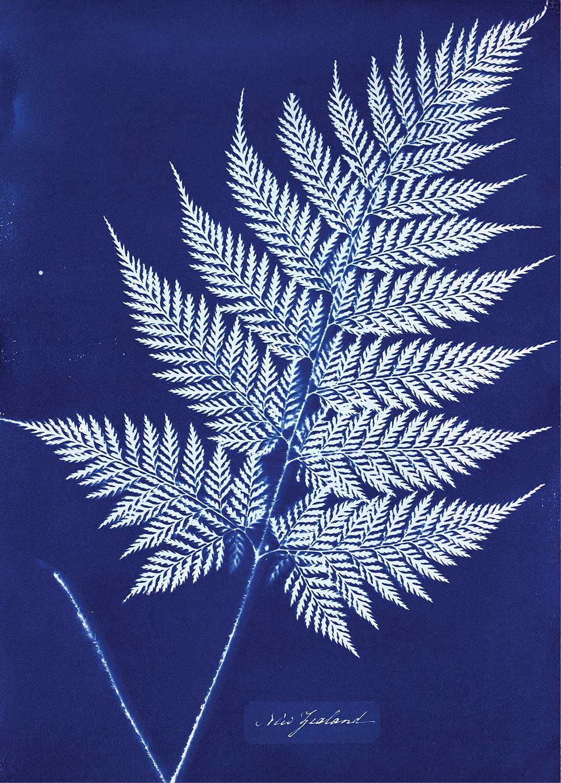 Anna_Atkins_-_New_Zealand-cyanotype3.jpg