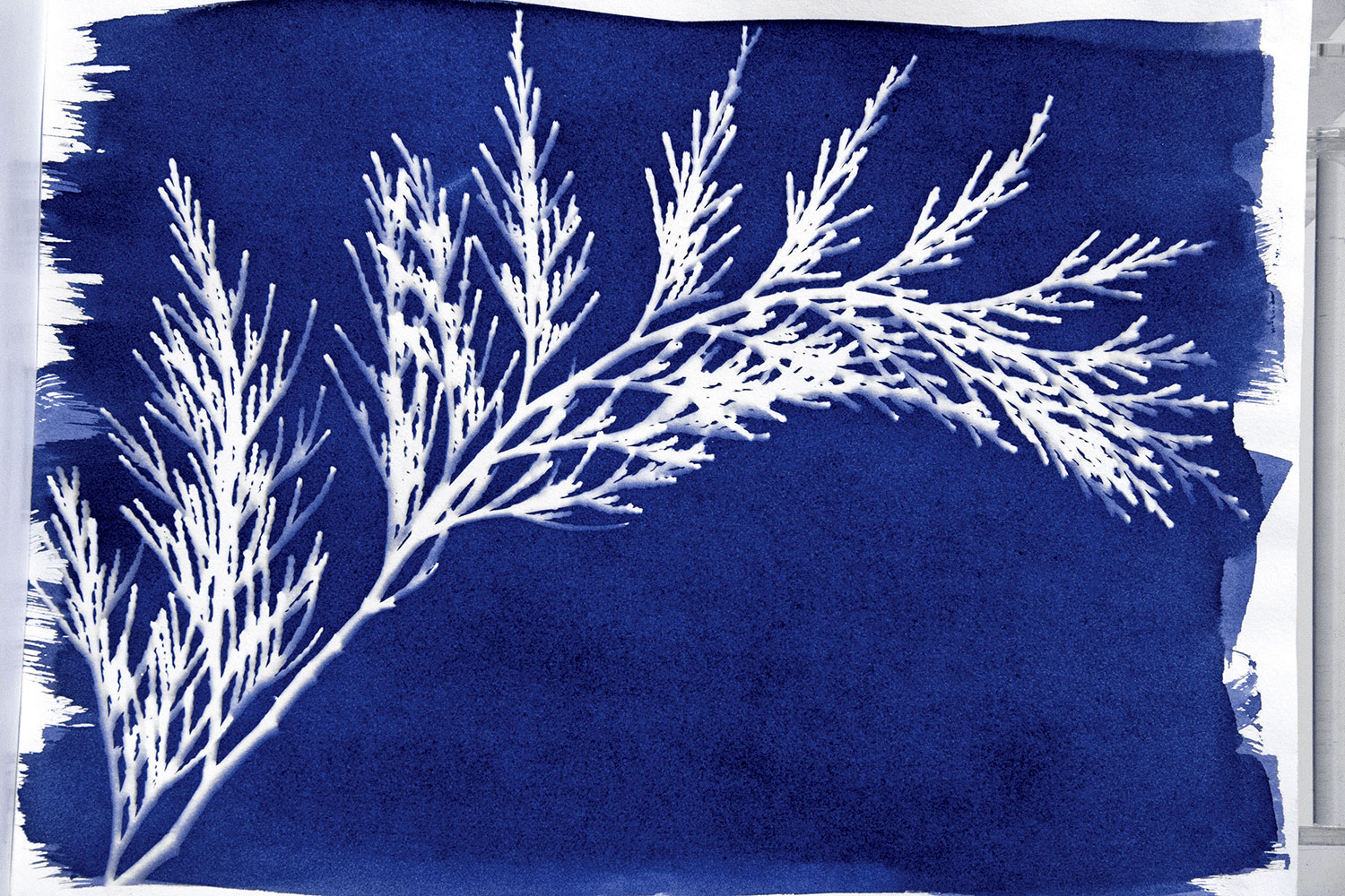 Cyanotype-Prints_8_pine-needle_adjusted-288c.jpg