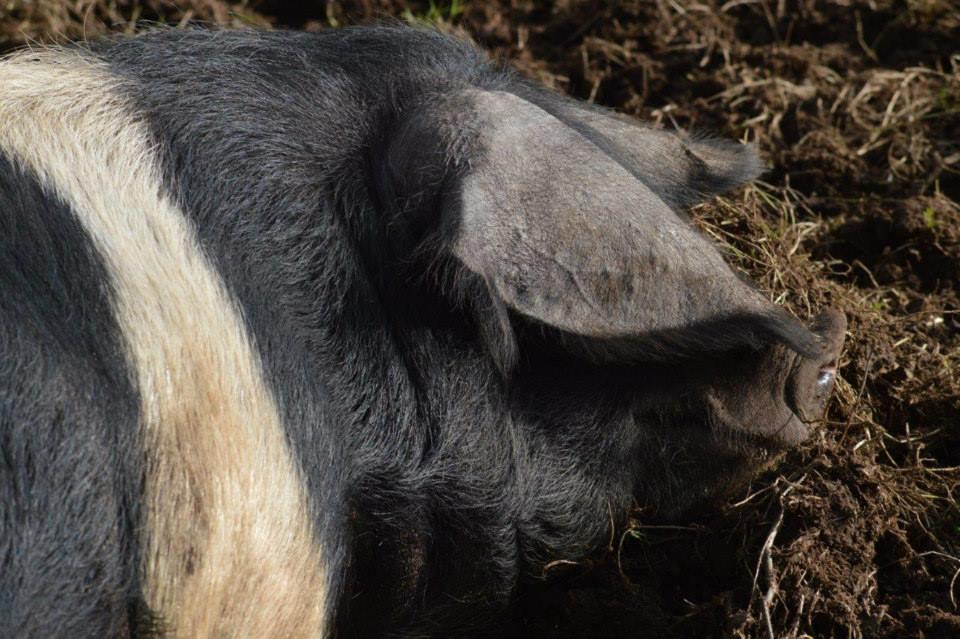 STAY PIG.jpg