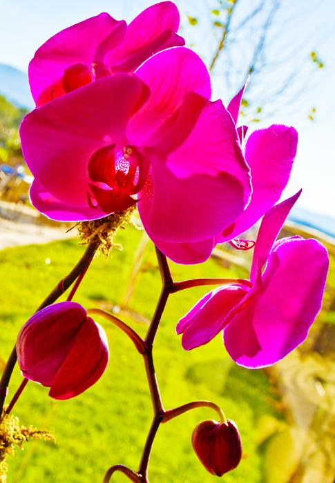 Biltmoreorchid001crop.jpg