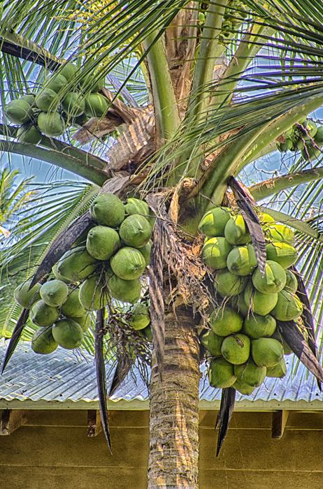 CoconutsColefexDef_HDRFinal.jpg