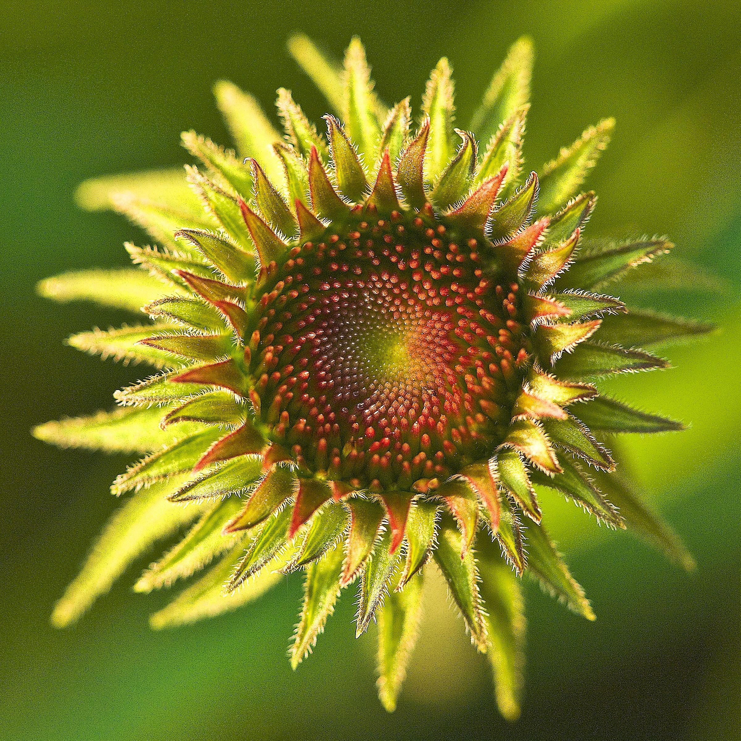 Echinaceasquared.jpg