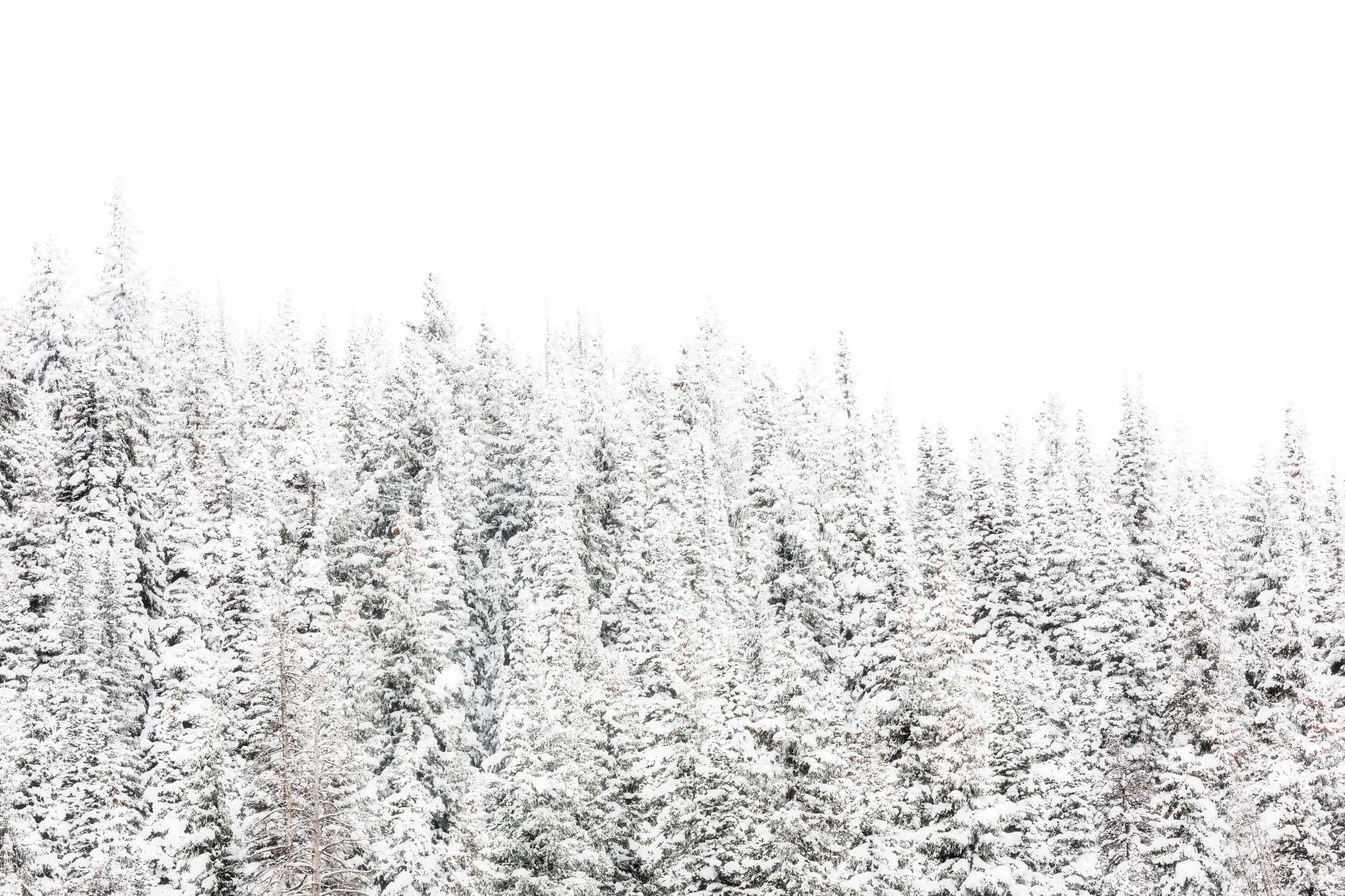 A stand of snowy trees on a pass near Steamboat Springs in Colorado's Rocky Mountains. The winter scene comes as the state has been experiencing a better snow year in 2018/19 than the year before, when the snowpack was at record-low levels in parts of the state and ski resorts were struggling.