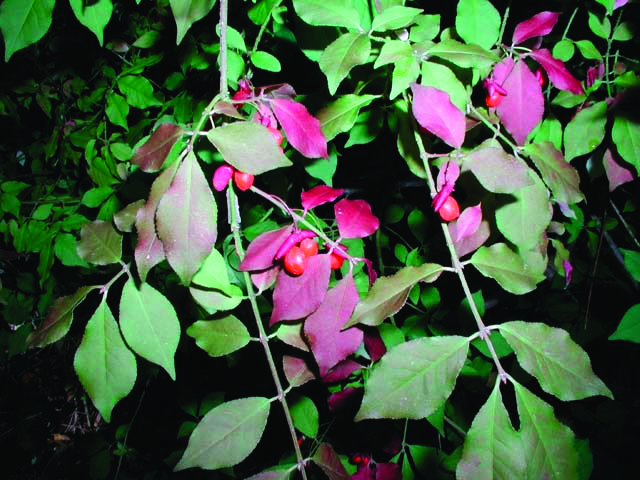 Burning Bush (Euonymus alata)