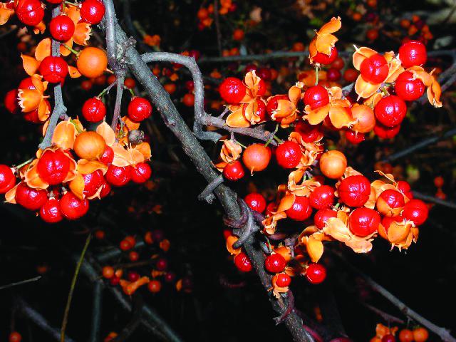 Oriental Bittersweet (Celastrus orbiculatus)