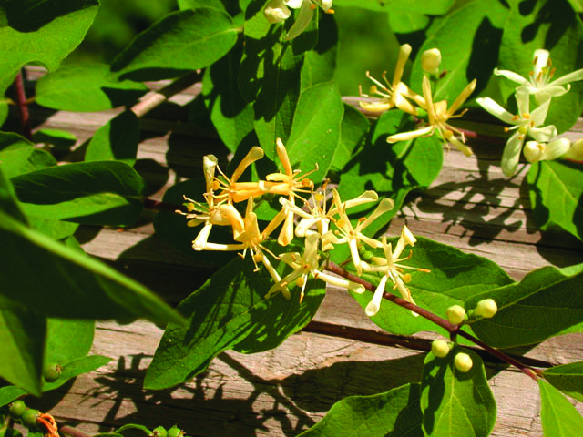 Shrub Honeysuckle (Lonicera sp.)