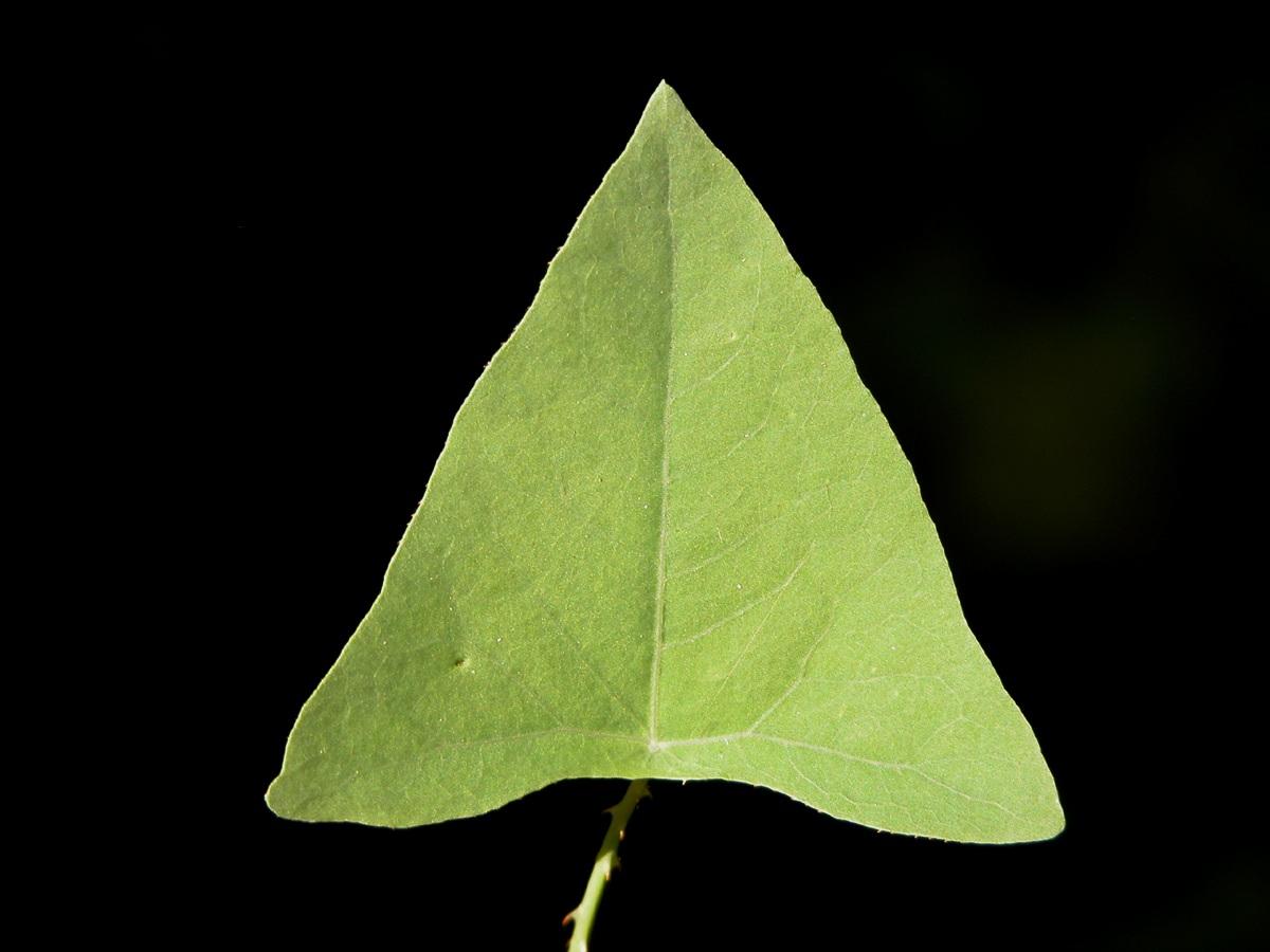Mile-A-Minute Vine or Devil's Tearthumb (Persicaria perfoliata)