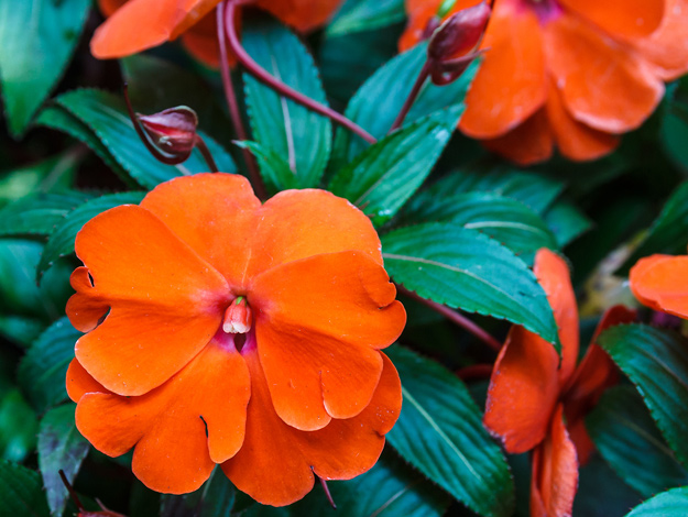 "New Guinea impatiens - AnnualHeight: 10-18""Width: 10-18""Sunlight: Full shade to partial sunWater: MoistCare: Keep soil consistently moist and feed monthly.Pair with: Impatiens, Sweet Potato Vine, Coleus"