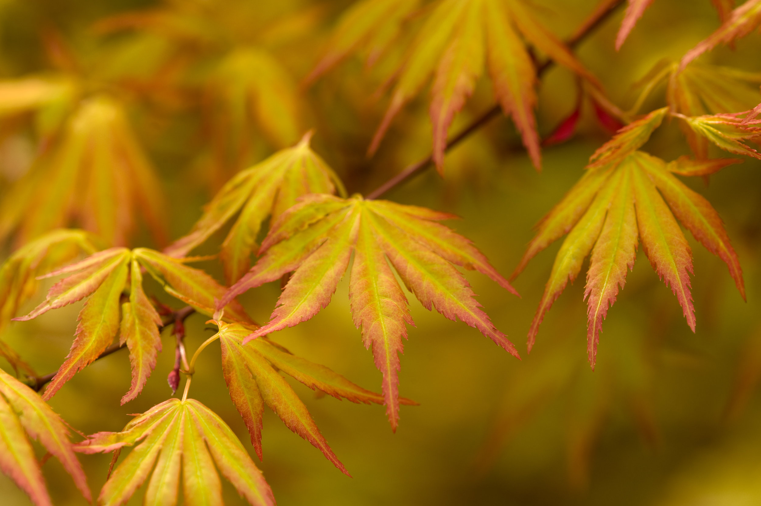 WITH DIVERSITY OF FORM, COLOR AND SIZE, THERE'S A JAPANESE MAPLE TO FIT NEARLY EVERY LANDSCAPE. -