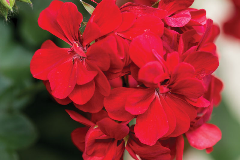 Add color to beds and containers with flowering annuals like Watson's Grown geraniums.