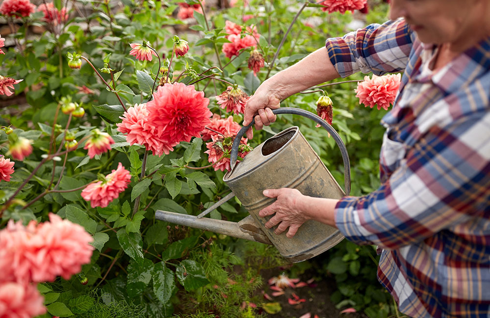 Haven't planted dahlias yet? It's not too late, we have an assortment of already blooming dahlias.