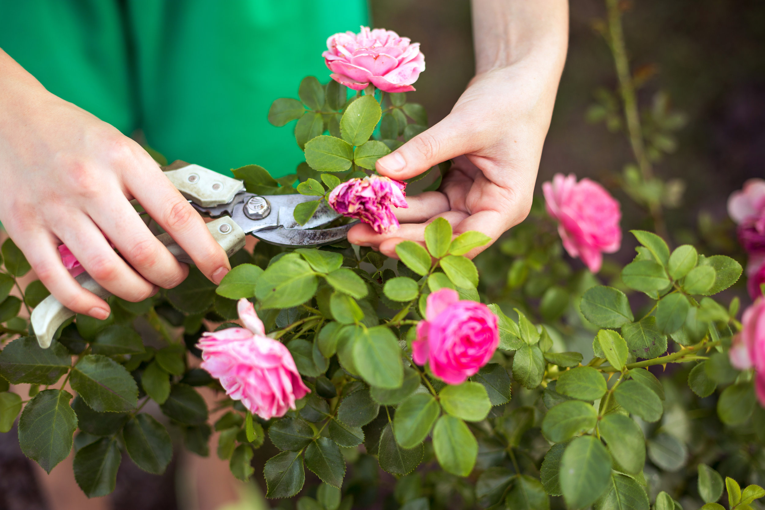 IT'S TIME TO PRUNE BLOOMS AND CONTROL PESTS! -
