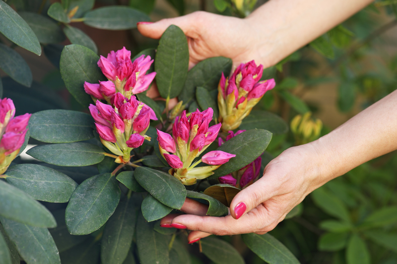 It's the last chance to fertilize rhododendrons, azaleas and other spring blooming shrubs.